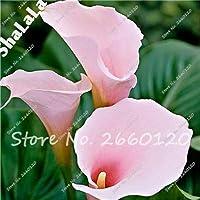 9:オランダカイウユリの花の種100個マルチカラーオランダカイウユリの盆栽の種、希少植物花ホームガーデニングDiyガーデン用品