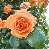 バラ苗 ロイヤルサンセット 国産大苗6号スリット鉢 つるバラ(CL) 四季咲き オレンジ系