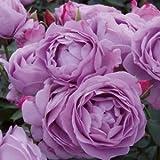 バラ苗 しのぶれど 国産大苗6号スリット鉢 フロリバンダ(FL) 四季咲き中輪 アンティークタイプ 紫系