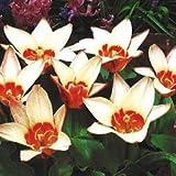 早咲き!原種系 ツリパ(チューリップ)カウフマニアナ・アンシラ 球根 5球
