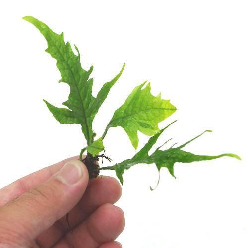 (水草) ミクロソリウムsp.サンダーリーフ(無農薬)(1株分) 本州・四国限定[生体]