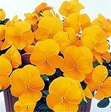 パンジービオラよく咲くスミレ「パイナップル」1株