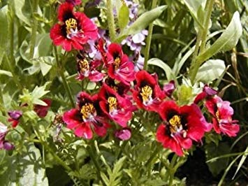 盆栽の種蝶の蘭の花、シザンサス、70 Groco、盆栽の種