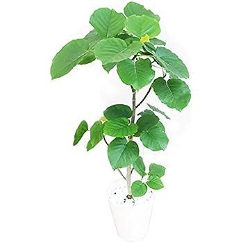 フィカス ウンベラータ ゴムの木 8号 ホワイトセラアート鉢 観葉植物 中型 大型 インテリア ウランベータ