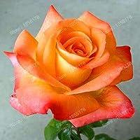 オレンジ:四季花の種は様々な色を維持するのは簡単バラ盆栽鉢植えガーデン植物熱い販売150ピース/バッグ