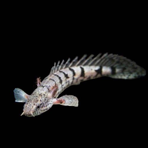 ポリプテルス デルヘッジィ(約6-8cm)<1匹>[生体]
