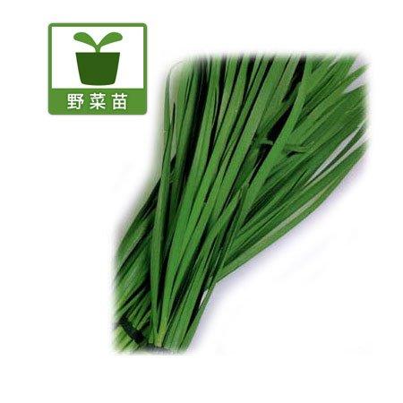 コンパニオンプランツ:大葉ニラ3号ポット6個セット[家庭菜園に!] ノーブランド品