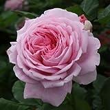 バラ苗 マリーヘンリエッテ 国産大苗6号スリット鉢 つるバラ(CL) 四季咲き大輪 ピンク系