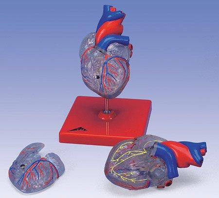 3B社 心臓模型 心臓透明型・2分解モデル刺激伝導系付 (g08-3)