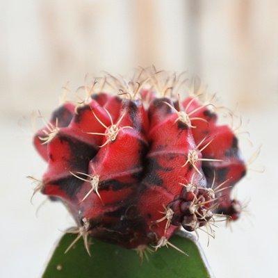 サボテン 緋牡丹錦 ヒボタン 多肉植物 3号鉢
