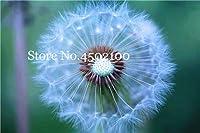 100個タンポポMongolicum花盆栽、盆栽タンポポ美しいモンゴルタンポポ盆栽DIYホームガーデン用品:3