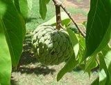 Sugar Apple Tree 8 Seeds - Annona squamosa - Bonsai by Hirt's
