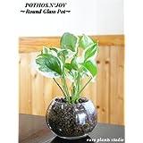 ポトス・エンジョイ / モダンラウンドグラス / Pothos N'joy / Modern Round Glass / イテリア観葉植物 / ハイドロカルチャーアレンジ