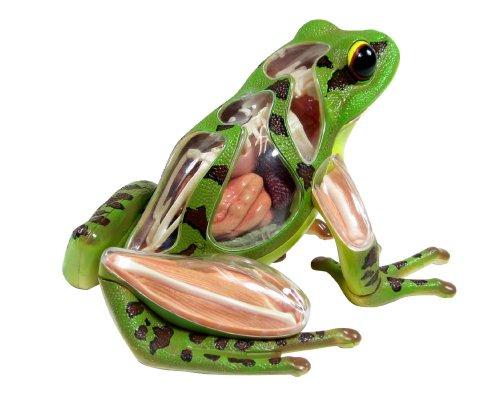 青島文化教材社 スカイネット 立体パズル 4D VISION 動物解剖 No.05 カエル解剖モデル