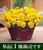 ビオラ ビビ クリアイエローインプ 10.5cmサイズ大ポット 1ポット パンジー ビオラ すみれ 苗 寄せ植え