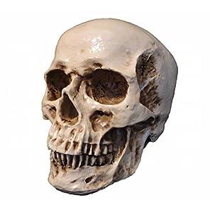 ドクロ 頭蓋骨 頭部 模型 レプリカ 非可動式 リアル 教材 インテリア