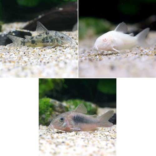 (熱帯魚)コリドラス・トリオ(3匹)(各種1匹) 本州・四国限定[生体]