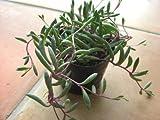 多肉植物 ルビーネックレス 3号~3,5号サイズ苗