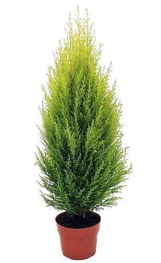 種:レモンの香りクレストツリー - 屋内/アウト - 6