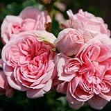 バラ苗 シンデレラ 国産大苗6号スリット鉢 つるバラ(CL) 四季咲き ピンク系