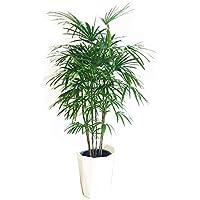 棕櫚竹 シュロチク 観葉植物 10号 大鉢 観葉植物 寒さに強い インテリア 大型 オシャレ 大きい 尺鉢 大サイズ 本物