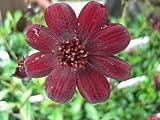 花苗 宿根草 チョコレートコスモス チョコモカ 3,5号ラベル付き苗