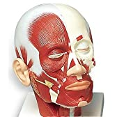 3B社 頭部断面模型 頭・頚部の筋肉モデル (vb127)
