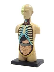 青島文化教材社 スカイネット 立体パズル 4D VISION 人体解剖 No.01 胴体解剖モデル