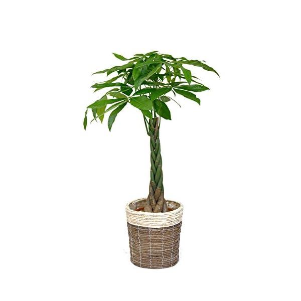 観葉植物 8号+6号セット パキラ8号・モンス...の紹介画像2