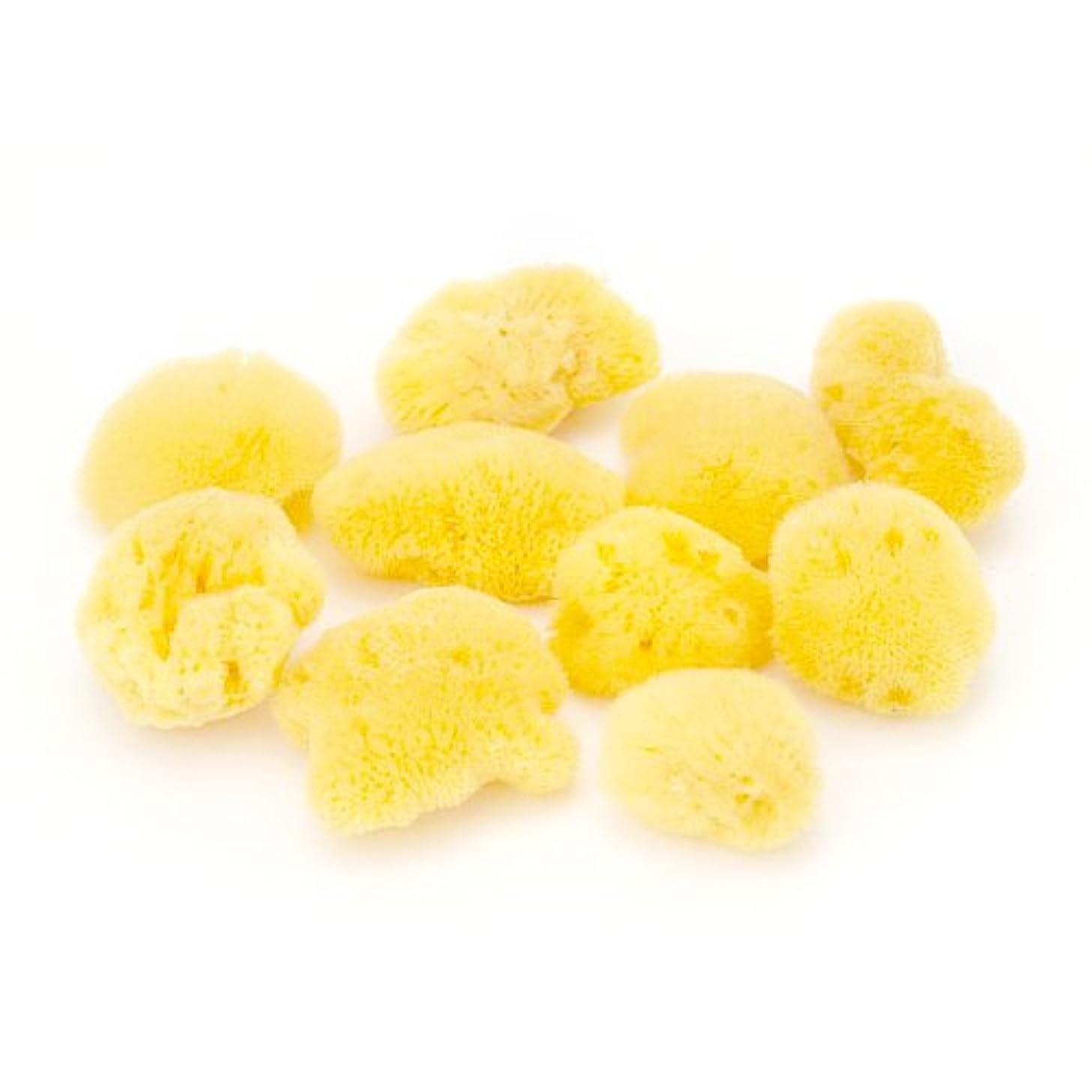 サンダース隙間レンド高品質シチリア産 天然海綿スポンジ シルク種SS