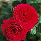 バラ苗 レッドレオナルドダビンチ 国産大苗6号スリット鉢 フロリバンダ(FL) 四季咲き中輪 赤系