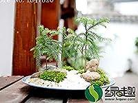 AAA 2016年50個のアローカリア種子屋外シーズさわやか盆栽種子観葉種子種子種子