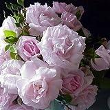 バラ苗 ニュードーン 国産新苗植え替え6号スリット鉢 つるバラ(CL) 四季咲き ピンク系