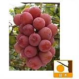 ブドウ:クイーンニーナ挿木苗5号ポット[果樹研究所育成品種][鮮やかな赤色の果皮]