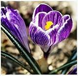 無料の船サフラン種子、サフランの花の種子は、サフランクロッカスの種子は、そうではありませんサフラン球根 - 20種子