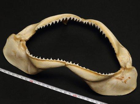 サメの顎 鮫のあご 標本 約30-35cm
