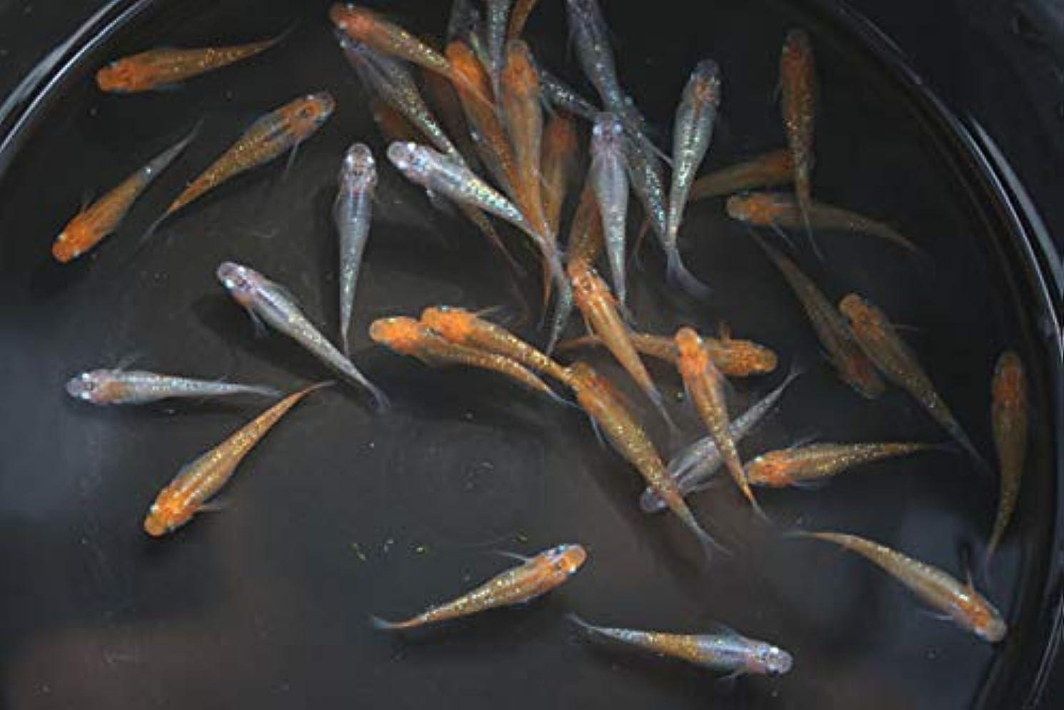 畝間独立東部【国産メダカ】親魚候補 女雛ラメ 1匹 ML 雌 全長約2.5~3cm程度 (生体0604-3)