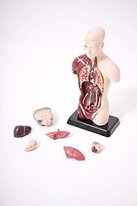 体のことがよくわかる 人体モデル 27cm