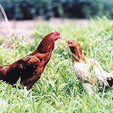 国産 茨城県産 地鶏 奥久慈しゃも 正肉セット 約1kg 冷蔵品