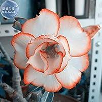 ChinaMarketホワイトアデニウム砂漠オレンジエッジの花の種、2種、プロフェッショナルパック、4層盆栽家の庭の植物とローズ