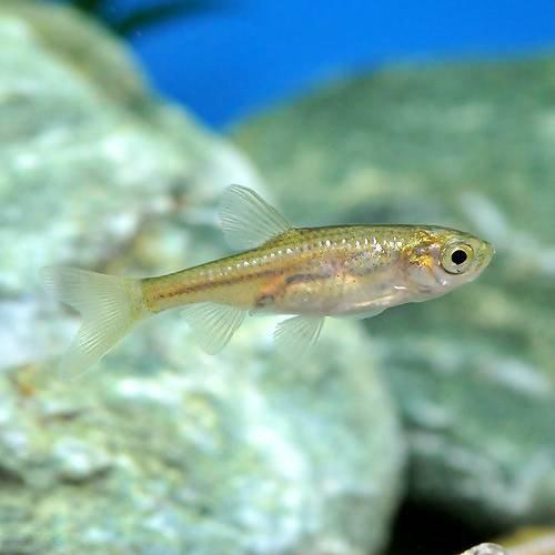 (淡水魚)カワバタモロコ(3匹)