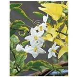 オンリーワン 長尺ツル性植物 ツルハナナス(斑入り) WP6-TTHNF