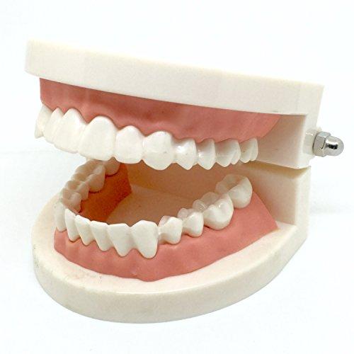 歯型模型 歯列模型 透明 実物大 歯は着脱可能 可動タイプ ( 矯正模型 指導用模型 も有り) (ノーマルモデル)
