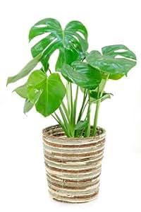 Amazon|【ミックス鉢カバー付】ヒメモンステラ6号鉢|グリーン・観葉植物 オンライン通販