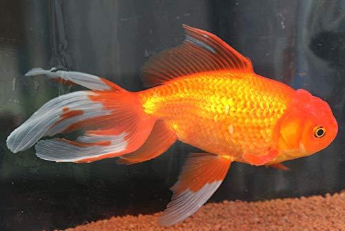 ★国産金魚★ ジャンボオランダ(素赤) 1匹 全長約19~22cm程度 (生体0711-3)