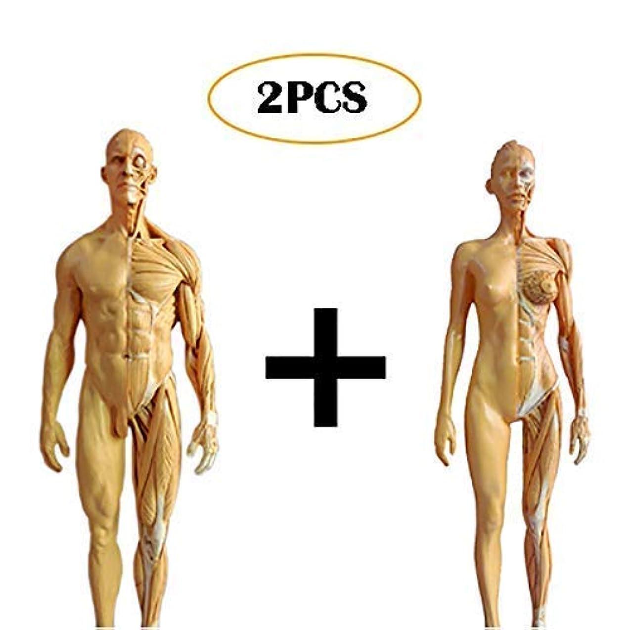 コンデンサーグロー割合教育モデル人体解剖図モデルアンティークデザイン人間の骨格解剖絵画モデルPU素材女性&男性の解剖図