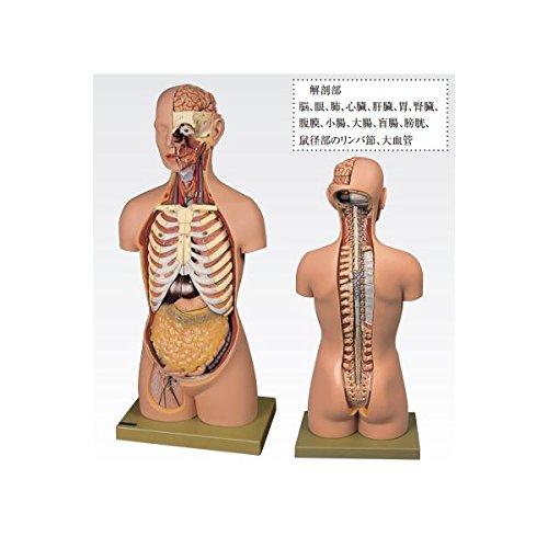 トルソ人体モデル/人体解剖模型 (20分解) 主要臓器とりはずし可 J-113-1
