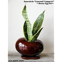 Sansevieria Laurentii Compacta / Egg Pot  Brown / サンセベリア・ローレンティー・コンパクタ / エッグポット・ブラウン / インテリア観葉植物 / 鉢植え