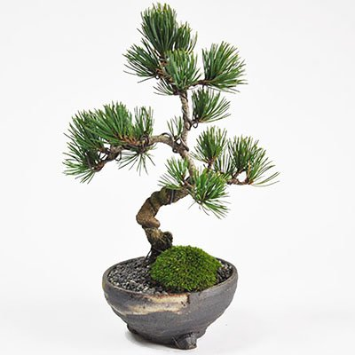 盆栽妙 四国五葉松 松のミニ盆栽 樹高19cm×幅13cm