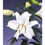 オリエンタルリリー:カサブランカ3.5号芽出しポット 3個セット[大輪のユリ・百合・切り花に人気]